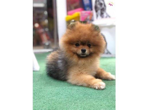 Pomeranian BOO ayı surat 11 aylık erkek