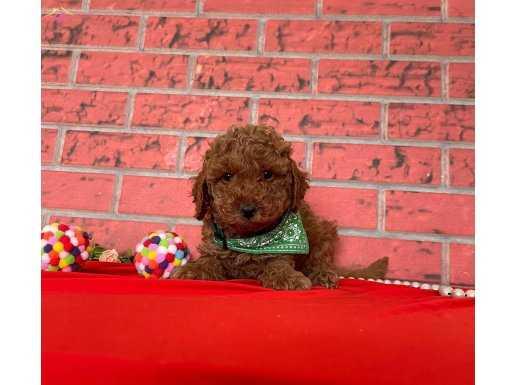 Mükemmel RED BROWN Toy Poodle Bebekler