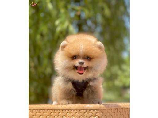 Teddy bear pomerinan boo yavrular