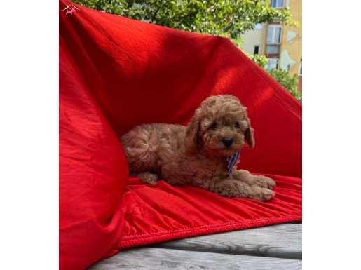 Red BROWN toy Poodle yavrular WC EĞİTİMLİ microcip Li