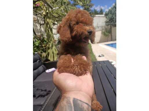 A KALİTE RED BROWN TOY POODLE YAVRULAR