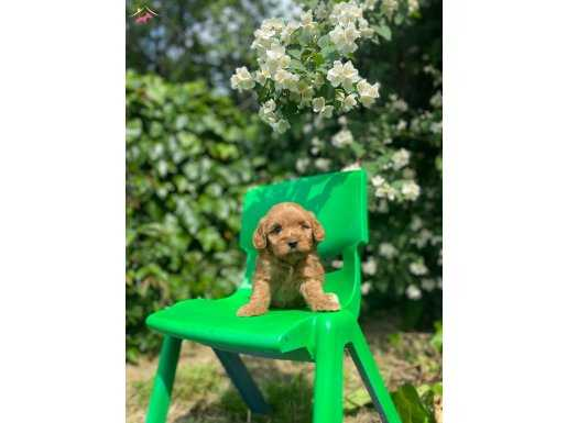 RED BROWN MALTİPOO