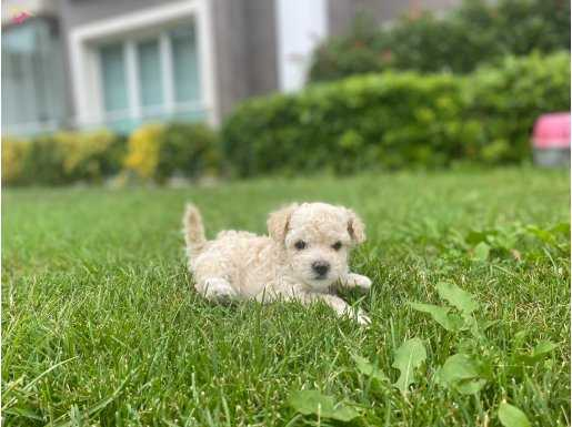 Red brown maltipoo