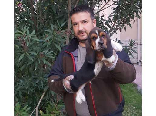 Basdet hound yavrularımız