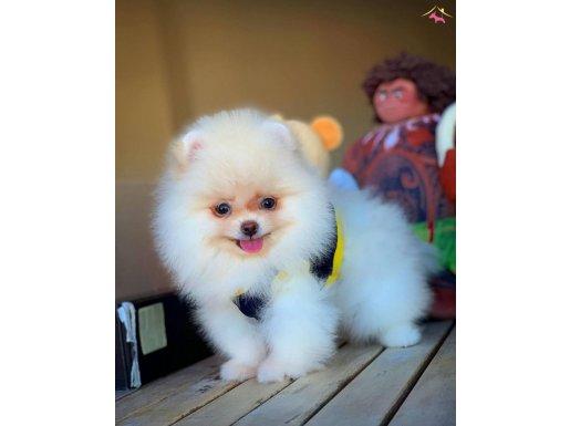 Ayı Surat Pomeranian Boo Daisey