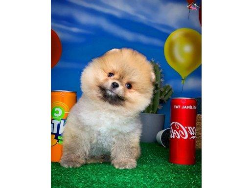 Aa Kalite Tüy Dökmeyen Pomeranian Boo Yavrumuz Tarçın