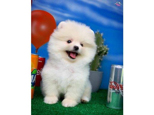 Gülen Surat Pomeranian Boo Oğlumuz Tony