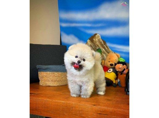 Oyuncu Gülen Surat Pomeranian Boo Kızımız  COCO