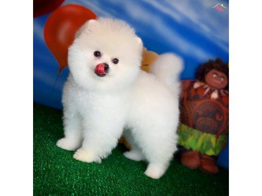 Gülen surat secere belgeli Pomeranian boo oğlumuz NAGA