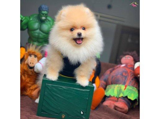 Gülen Surat Pomeranian Boo Oğlumuz PAŞA