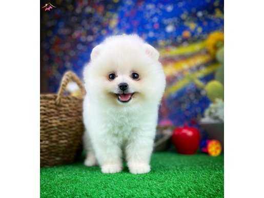 Gülen Surat Yakışıklı Pomeranian Oğlumuz BOBİ