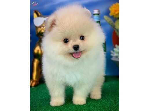 Gülen Surat Yakışıklı Pomeranian Boo Oğlumuz MARİO