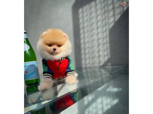 Gülen Surat Pomeranian Boo Oğlumuz JOKER