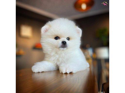 Teddybear Pomeranian Boo Yavrularımız