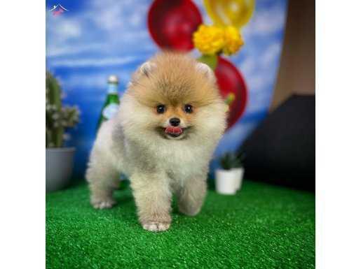 Yakışıklı ve sevimli Pomeranian Boo oğlumuz ROCKY