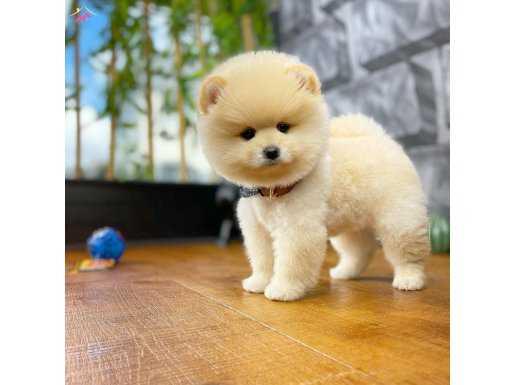 Gülen Surat Sevimli Pomeranian Boo Kızımız Marley