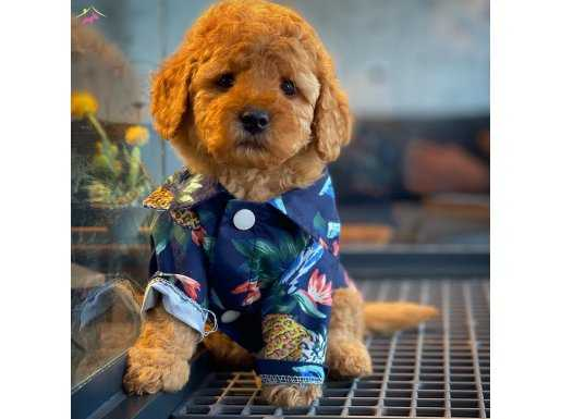 Red Brown Toy poodle Oğlumuz SERGİO