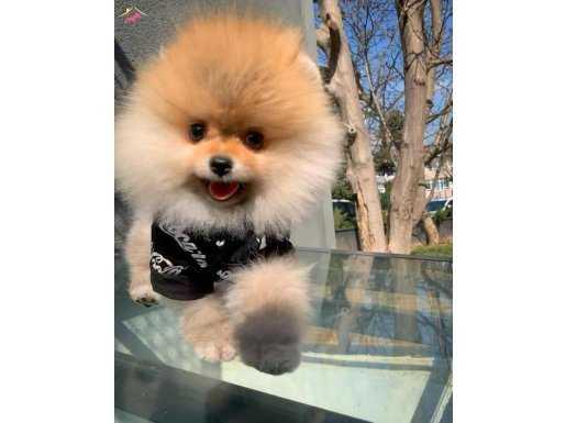 Gülen Surat Sevimli Ve Oyuncu Pomeranian Boo Oğlumuz MARİO
