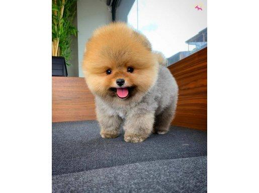 Sevimli ve Yakışıklı Pomeranian Bol Oğlumuz HUGO