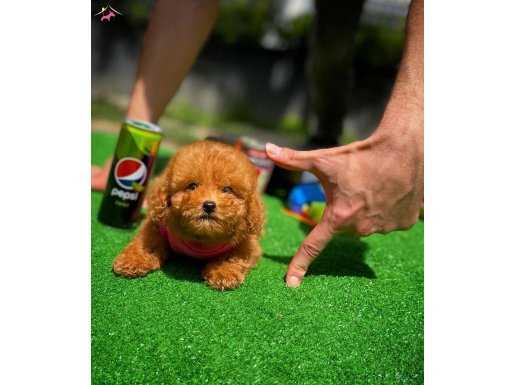 Red Brown Toy Poodle Kızımız MARLEY