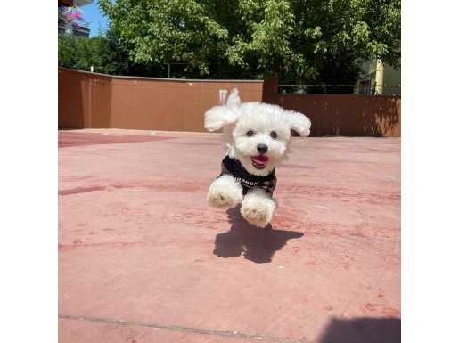 Yakışıklı ve Sevimli Maltese Terrier Oğlumuz FELİX