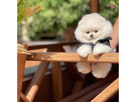 Sevimli Pomeranian Boo Kızımı DAİSEY