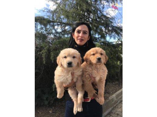 Golden yavrularım sağlık ve ırk garantilidir