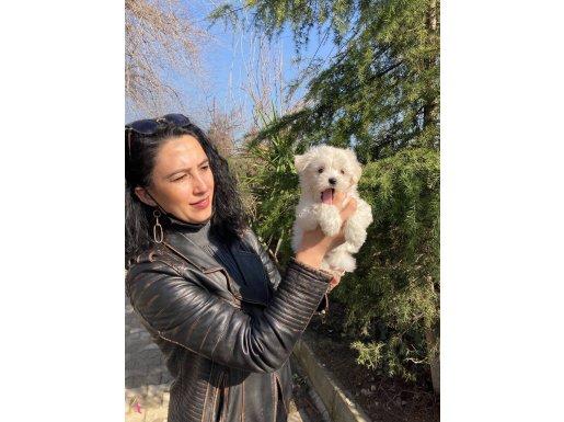 Maltese terrier yavrularım sağlık ve ırk garantilidir