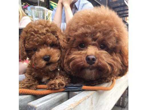 Toy Poodle Safkan Yavrularımız Nadir Renkler