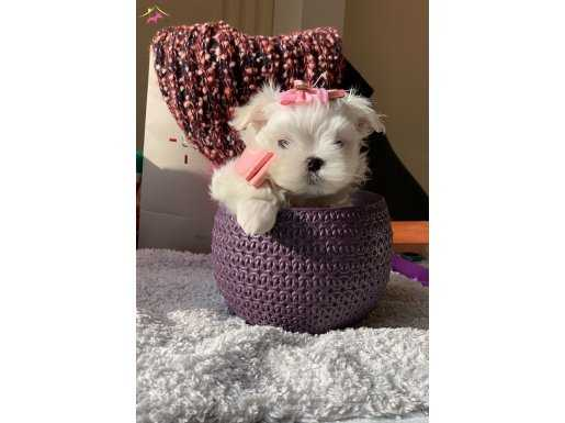 Teacup Maltese Terrier Yavrumuz anne baba 1 kg secereli