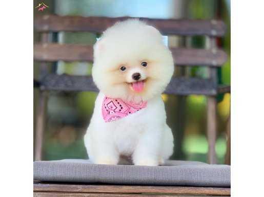 Pomeranian Boo Teddy bear ayicik