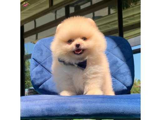 Pomeranian Boo Teddy bear yavrularimiz