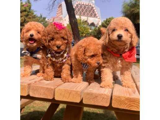 Toy Poodle Teacup Peluş görünümlü yavrularımız