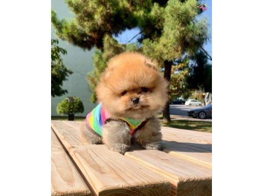 Pomeranian boo safkan secereli ırk garantili mini yavrumuz