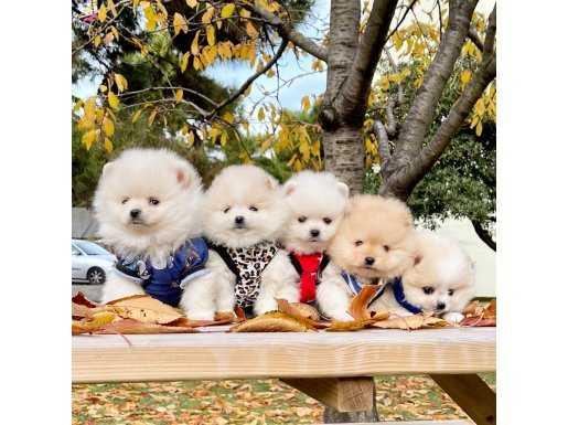 Pomeranian boo ayicik suratlı yavrularımız