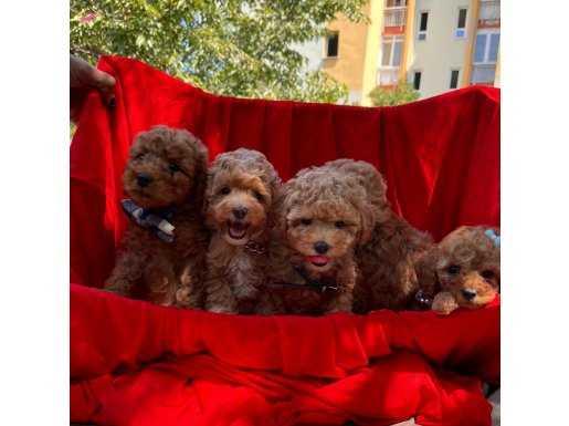 Toy Poodle red brown red yavrularımız
