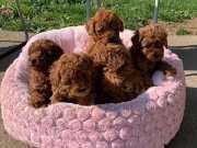 Toy Poodle Red Brown en ufak boy yavrularimiz