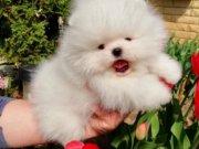 Pomeranian boo ayicik tip yavrularımız
