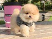 Pomeranian Boo Safkan Ayicik Surat Yavrularımız