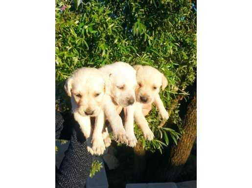 Irk Garantili Şirin Yüzlü Labrador Retriever Yavrular