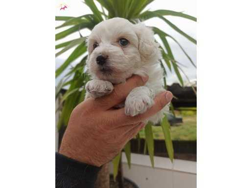 Güzel Yüzlü Irk Garantili Maltese Terrier Yavrular