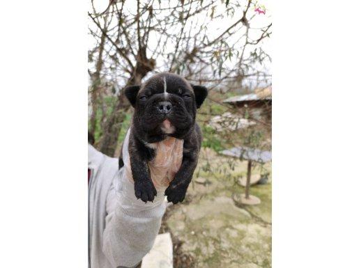 Irk ve Sağlık Garantili Fransız Bulldog Yavrular