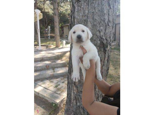 Dost Canlısı Irk Garantili Labrador Yavrular