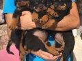 Üst Kalite Rottweiler Yavrular