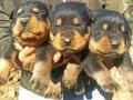 A Kalite Irk ve Sağlık Garantili Rottweiler Yavrular
