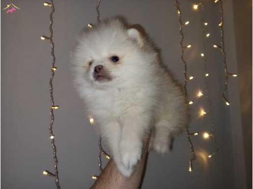 Safkan Orijinal Pomeranian yavrular????