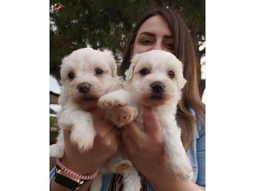 Maltese Terierr Bebeklerimiz