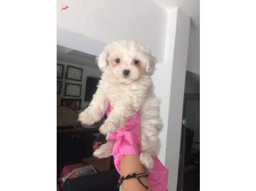 Maltase Terrier dişi yavrumuz