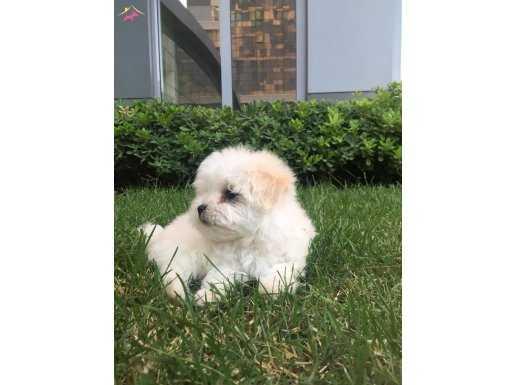 Maltes Terrier
