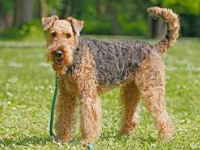 Terrier Airedale